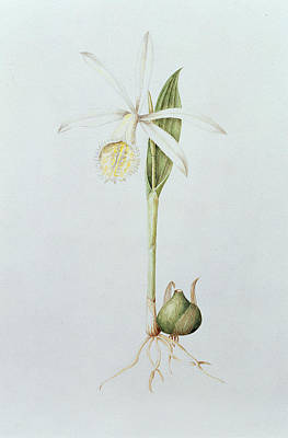 Orchid Drawing - Pleione Formosana Alba by Mary Kenyon-Slaney