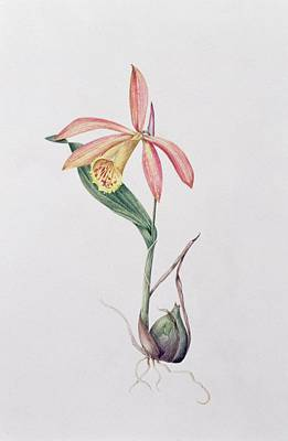 Orchid Drawing - Pleione Zeus Wildstein by Mary Kenyon-Slaney