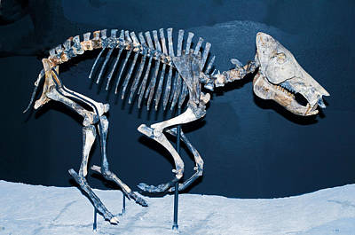 Photograph - Pleistocene Peccary Fossil by Millard H. Sharp