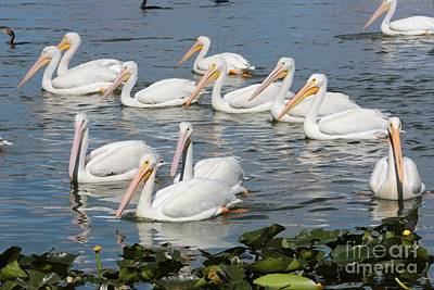 Billiard Balls - Plenty of Pelicans by Carol Groenen