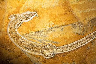 Photograph - Pleurosaurus Goldfussi by Millard H. Sharp