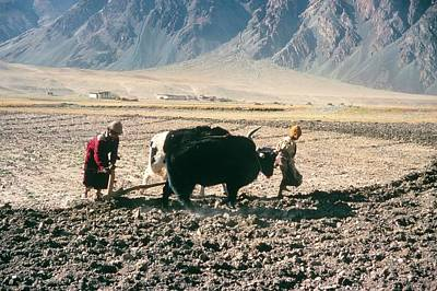 Yak Wall Art - Photograph - Ploughing Fields At Thonde by Simon Fraser/science Photo Library
