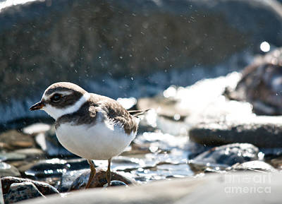 Photograph - Plover In The Water Spray by Cheryl Baxter