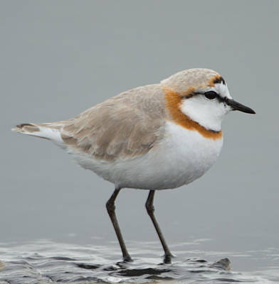 Plover Photograph - Plover In Water, Namibia by Panoramic Images