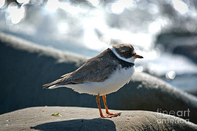 Photograph - Plover On A Rock by Cheryl Baxter