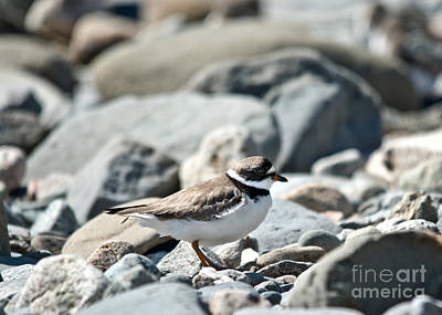 Photograph - Plover On The Go by Cheryl Baxter