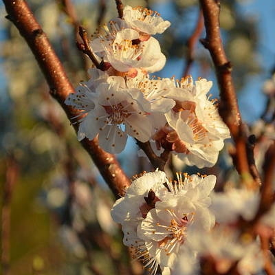 Photograph - Plum Blossom 1.9 by Cheryl Miller
