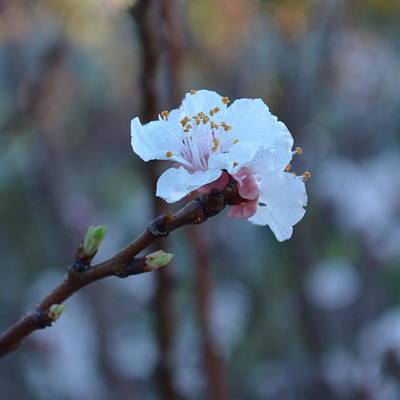 Photograph - Plum Blossom 1.4 by Cheryl Miller