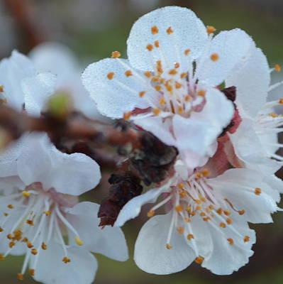 Photograph - Plum Blossom 1.2 by Cheryl Miller