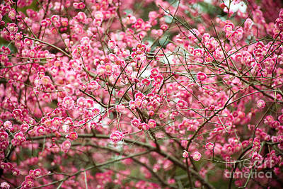 Photograph - Plum Blossom by Yew Kwang
