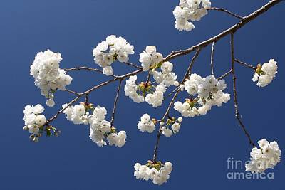 Flower Photograph - Plum Blossoms 2 by Vicki Maheu