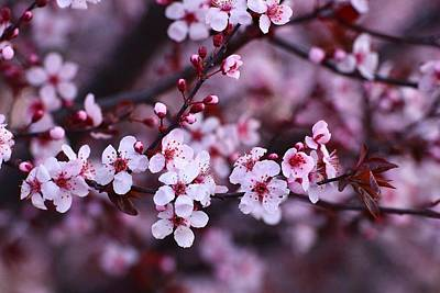 Plum Blossoms Art Print by Lynn Hopwood