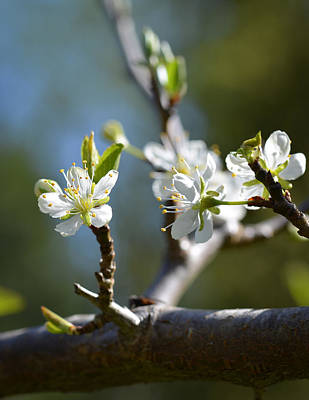 Photograph - Plum Blossoms by Ronda Broatch