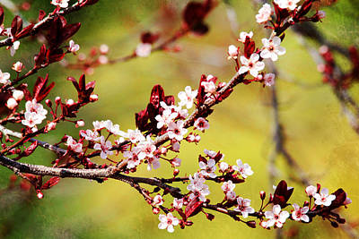 Photograph - Plum Blossoms by Trina  Ansel