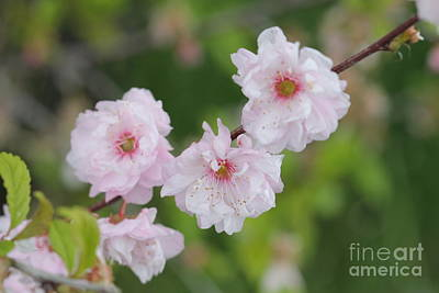 Photograph - Plum Branch by Donna Munro