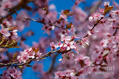 Photograph - Plum Flowers And Honey Bee by Mark Dodd