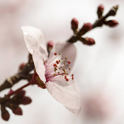 Photograph - Plum Pink by Caitlyn  Grasso