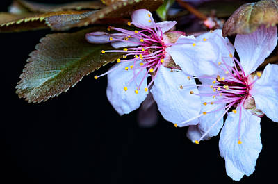 Art Print featuring the photograph Plum Tree Blossom Iv by Robert Culver