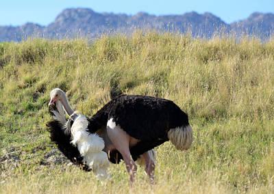 Ostrich Photograph - Plumage by Fraida Gutovich