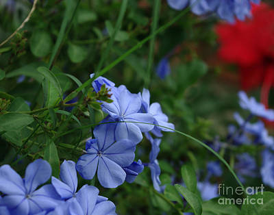 Photograph - Plumbago Blue With A Splash Of Red by Peter Piatt
