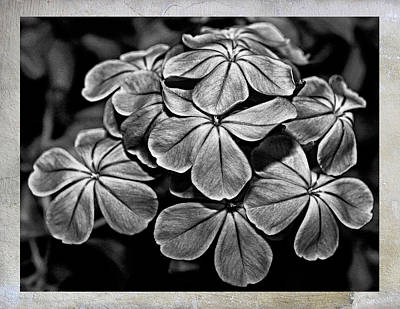 Photograph - Plumbago In Gray by Judy Vincent