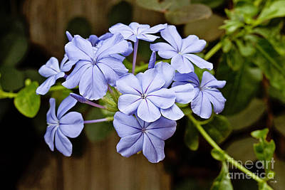 Plumbago Art Print by Scott Pellegrin