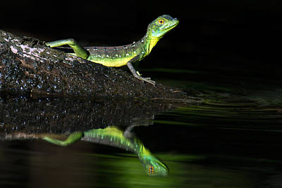 Tortuguero Photograph - Plumed Basilisk Basiliscus Plumifrons by Panoramic Images