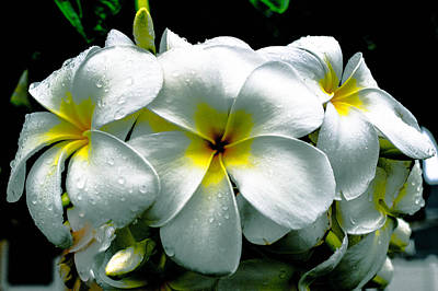 Photograph - Plumeria Bunch by Lisa Cortez