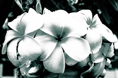 Photograph - Plumeria Bunch No Color by Lisa Cortez