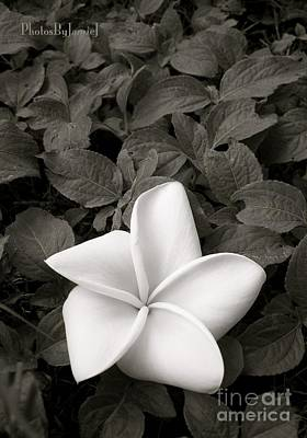 Photograph - Plumeria Bw by Jamie Johnson