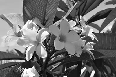 Photograph - Plumeria Bw by John Black