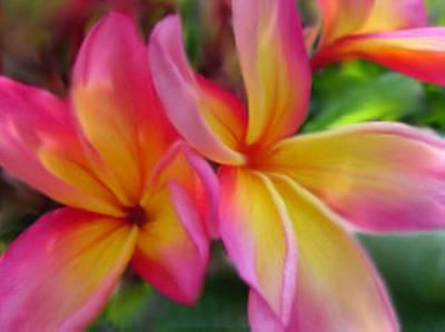 Plumeria - Colorful Print Art Print by Dennis Buckman