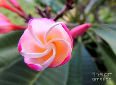 Art Print featuring the photograph Plumeria Curve by Kristine Merc