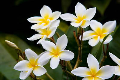 Photograph - Plumeria Frangipani by Duncan Selby