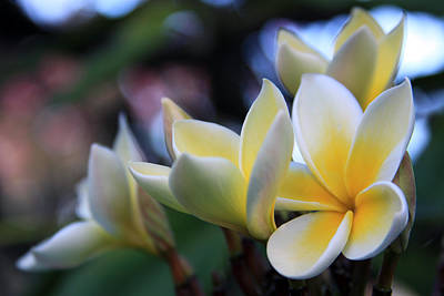 Photograph - Plumeria Frangipani Sunshine Lei by Karon Melillo DeVega