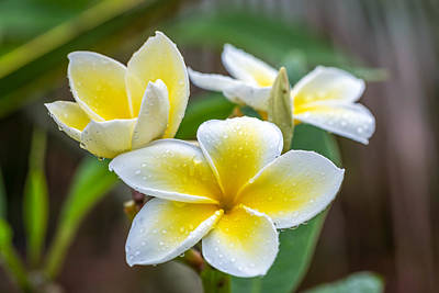 Photograph - Plumeria In The Rain by Pierre Leclerc Photography