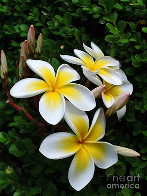 Photograph - Plumeria In The Sunshine by Kaye Menner
