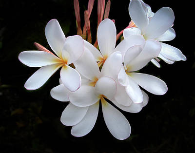 Photograph - Plumeria by Penny Lisowski