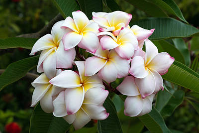Photograph - Plumeria by Pierre Leclerc Photography