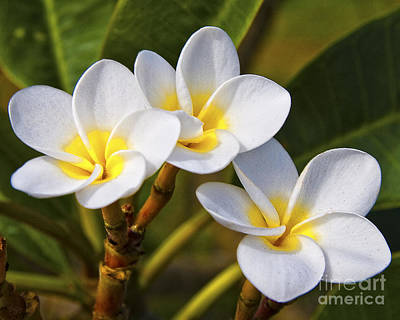 Photograph - Plumeria by Ronald Lutz