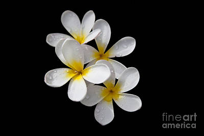 Art Print featuring the photograph Plumerias Isolated On Black Background by David Millenheft