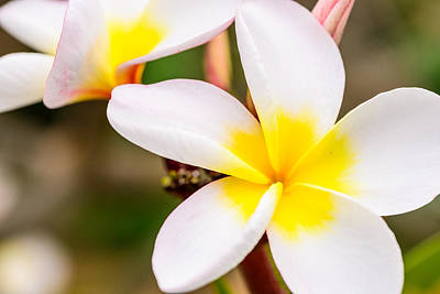Photograph - Plumerias Of Paradise 13 by Jason Chu