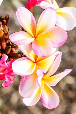 Photograph - Plumerias Of Paradise 4 by Jason Chu