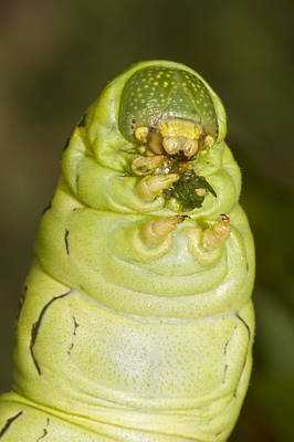 Photograph - Plump Green Caterpillar by Steven Schwartzman