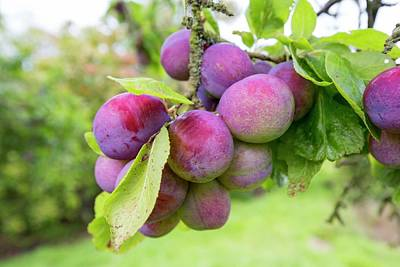 Vale Photograph - Plums Growing In An Orchard by Ashley Cooper