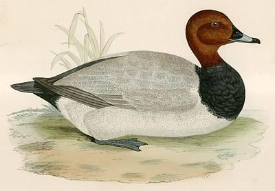 North American Wildlife Drawing - Pochard by Beverley R Morris