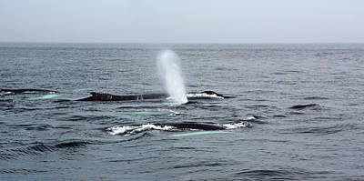 Photograph - Pod Of Humpback Whales by Jean Clark