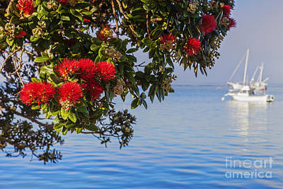 Photograph - Pohutukawa by Colin and Linda McKie