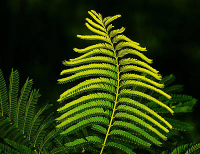Art Print featuring the photograph Poinciana Leaf by Lorenzo Cassina