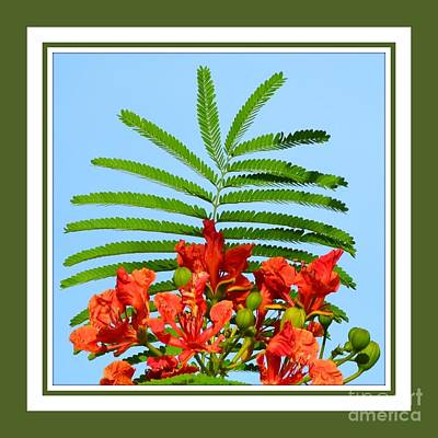 Photograph - Poinciana- Pick Me by Darla Wood